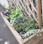 South platform planter with new polyanthus and narcissi